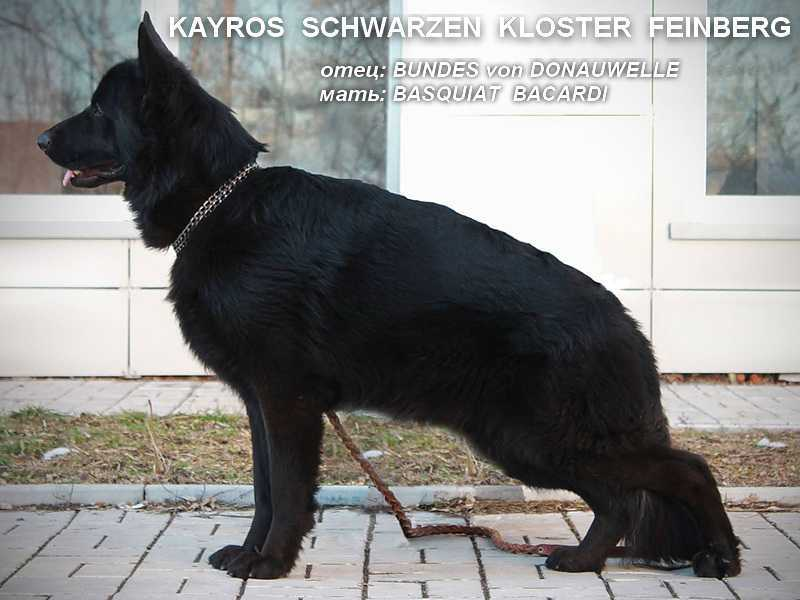 male of the black German shepherd dog Don Kairos